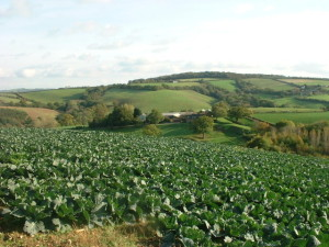 cabbage over farm