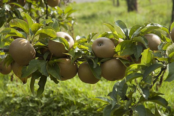 russet-apples-organic-2