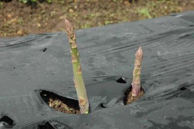organic-asparagus2