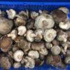 Mushroom Shiitake