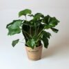 Potted Philodendron Selloum